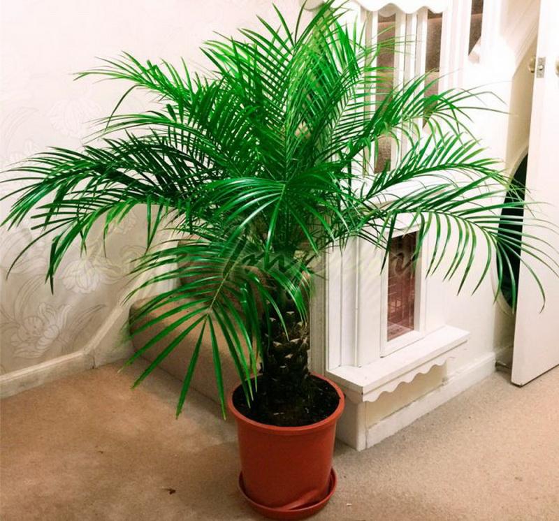 Все о комнатных пальмах: фото, и разновидности с подробным описанием